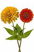 stock photo of zinnias  - Flowers of zinnia  - JPG