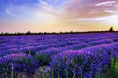 picture of lavender field  - Stunning landscape with lavender field at sunset - JPG