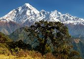 picture of nepali  - View of mount Dhaulagiri with tree - JPG