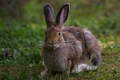image of wild-rabbit  - wild jack rabbit sitting on green grass in yellowstone national park - JPG