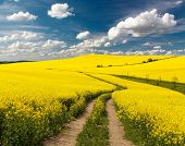 stock photo of turnip greens  - Field of rapeseed with rural road and beautiful cloud  - JPG