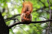 picture of judas tree  - the squirrel that keeps legs in walnut - JPG