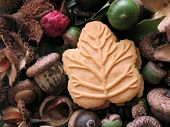 stock photo of locust  - One Canadian maple cream cookie, surrounded by autumn fruits, seeds, and nuts collected from Hempstead, Long Island, New York area. Honey locust seeds in woody cupule. Medium close cropping.