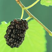 pic of mulberry  - black mulberry with a green leaf on a green background - JPG