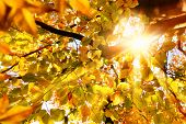 foto of dead plant  - Sun beautifully shining through the branches of a large beech tree in vivid autumnal golden color - JPG