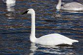 foto of trumpeter swan  - Bugler Trumpeter Swan Cygnus buccinator - JPG