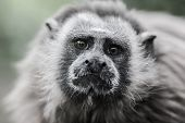 White-footed Tamarin poster