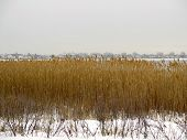 foto of snow queen  - Landscape of golden reeds in the winter snow on Jamaica Bay - JPG
