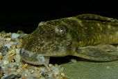 image of sucker-fish  - Detailed portrait of sucker mouth catfish on bottom - JPG