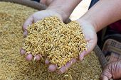 image of rice  - GA BA rice or Germinated brown rice  are high quality rice - JPG