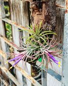 foto of tillandsia  - Tillandsia Tropical flower with morning and good weather - JPG