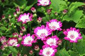 pic of bud  - Cineraria flowers and buds - JPG