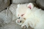 picture of pomeranian  - cute pomeranian puppy sleeping in the bed close up - JPG