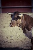 image of bulls  - Fighting bull picture from Spain - JPG