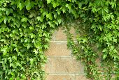 stock photo of climber plant  - Green plant twisted on a wall an ivy - JPG