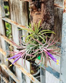 pic of tillandsia  - Tillandsia Tropical flower with morning and good weather - JPG