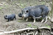 foto of baby pig  - A black mama potbelly pig with two of her babies all living in the wild - JPG