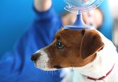 stock photo of jack russell terrier  - Jack russell terrier dog with a globe held to his head. ** Note: Shallow depth of field - JPG