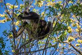foto of baby spider  - A mother and baby spider monkey in a tree near Cancun in Mexico - JPG