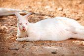 stock photo of albinos  - Unique Albino White Kangaroo Resting in the Shade - JPG