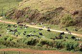 picture of feedlot  - cows feeding i green pasture on farm inside brazil - JPG