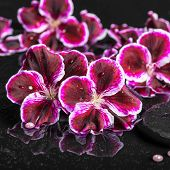 pic of geranium  - beautiful spa setting of blooming dark purple geranium flower and beads on reflection dark water closeup - JPG