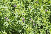 pic of alfalfa  - Medicago sativa in bloom  - JPG