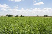 image of alfalfa  - Medicago sativa in bloom  - JPG