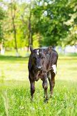 image of calf  - the dairy calf who is grazed on a meadow - JPG