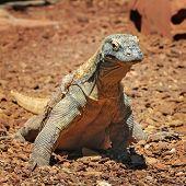 image of komodo dragon  - Komodo dragon  - JPG