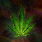 foto of marijuana plant  - Young cannabis plant - JPG
