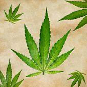 stock photo of marijuana plant  - Young cannabis plant - JPG