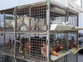 picture of chicken-wire  - Caged chickens for sale at local agricultural store - JPG