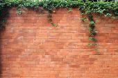 image of ivy vine  - brick wall and green leaf ivy - JPG