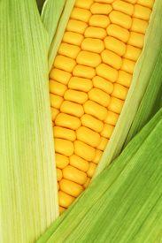 pic of corn cob close-up  - Close - JPG