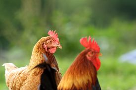 stock photo of roosters  - hen and rooster over green background closeup taken at the bio farm - JPG