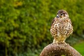 picture of merlin  - small merlin bird perching  on crooked branch - JPG