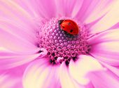 stock photo of rose flower  - Small ladybug sleeping on flower - JPG