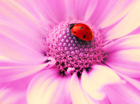 pic of rose flower  - Small ladybug sleeping on flower - JPG