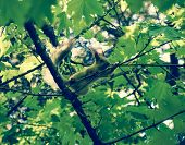 A Squirrel On The Branches Of A Maple. The Squirrel Is A Forest Rodent. poster