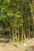 Bamboo Is A Genus Of Perennial Evergreens Of The Cereals Family Growing In The Tropical And Subtropi poster