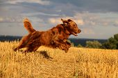 Brown Flat Coated Retriever Is Runnign In A Stubble Field poster