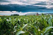 Countryside Rural Landscape With Paddock For Horse, Shed Or Barn Or Stable And Green Maize Corn Fiel poster