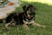 German Shepherd Puppies17