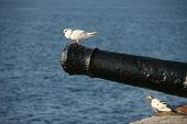stock photo of trebuchet  - An old cannon pointing out to sea with a pigeon sitting on the end - JPG