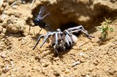 Постер, плакат: Spider Wasp And Paralyzed Spider  Wasps In The Family Pompilidae Are Commonly Called Spider Wasps