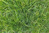 Grass Background, Grass Texture  For Design With Space For Text Or Image Fresh Green Spring Grass, M poster