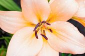 Summer Flower Landscape. Lily Summer Flower Of Peach Color Blooming In The Summer Garden. Summer Flo poster