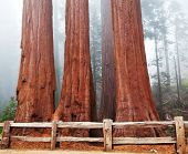 image of sequoia-trees  - Sequoia National Park in USA - JPG
