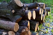 Stack Of Cut Pine Tree Logs In A Forest. Wood Logs, Timber Logging, Industrial Destruction, Forests poster